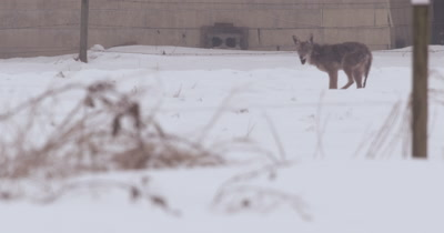 4K Coyote in snow hunts and catches rat. Eats it then urinates.