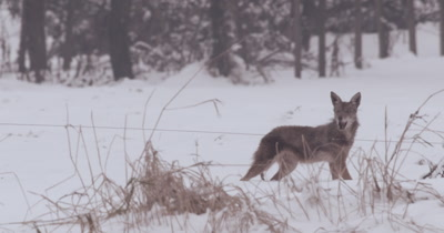 4K Coyote in snow stalks his prey, pounces and eats the rat - Stabilized Source