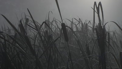 HD Cattails frozen in the morning mist, Time Lapse - NOT Colour Corrected