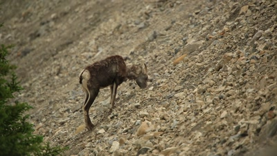 HD Stone Sheep eating minerals on steep rocky hill, Rack Focus, follow one climbing up to a second, dusk comes thru frame