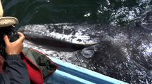 Gray Whale On Surface Opens Mouth For Photographer
