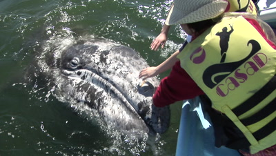 Baby Gray Whale Human Touch