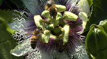 Honey Bee Collecting Pollen On Passion Fruit