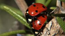 Lady Bugs Mating