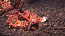 Red Inimicus Buried In Black Sand Catches And Feeds On A Cardinalfish.