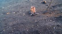 Coconut Octopus Stalks, Pounces And Captures A Small Crab On Black Sand.