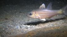 Bobbit Worm Trys To Capture Small Fish But It Escapes