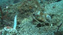 Mantis Shrimp Strikes Fish Several Times But Fails To Capture It.