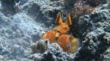 Bright Orange Mantis Shrimps Lightning Fast Strike.