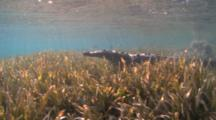 Salt Water Crocodile Goes To The Surface In Shallow Water With Seagrass.