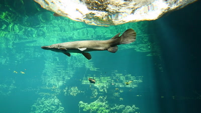Cuban Gar from below with surface in background
