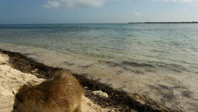 Desmarest's Hutia / Cuban Hutia sniffing around on the beach and sniffing camera lens