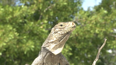 Cuban iguana close up zoom with greenery in background