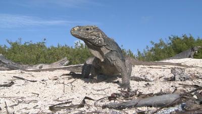 Several Cuban Iguana on the beach