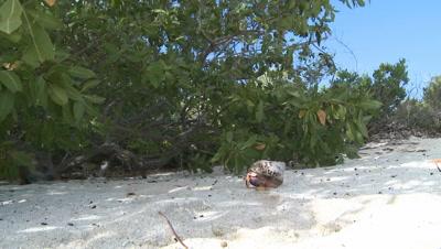 Desmarest's Hutia / Cuban Hutia sniffing around a Hermit Crab on the Beach