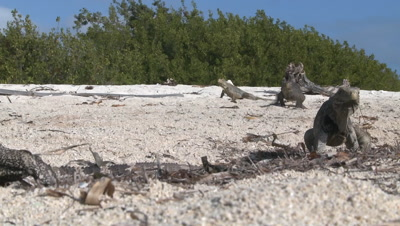 Two Cuban Iguanas fighting and biting each other on the beach with more in the background