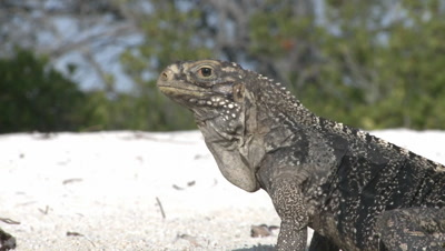 Close up of Cuban Iguana scavenging on the beach