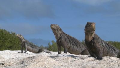 Wide shot of three Cuban Iguana