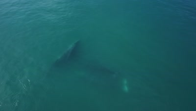 Aerial of Grey whale with calf