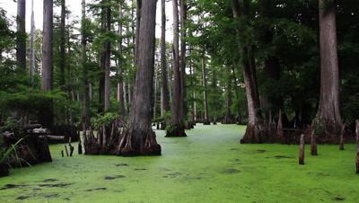 Slow Glide Through Swamp