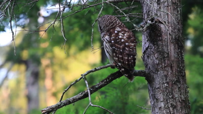 Owl in Cypress Tree Turns Head