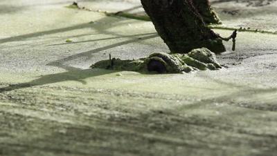 American Alligator Lowers Head Underwater