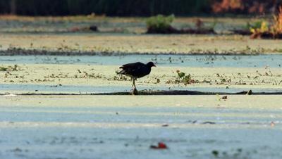 Moorhen In Swamp
