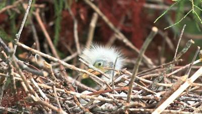 Baby Egret In Nest