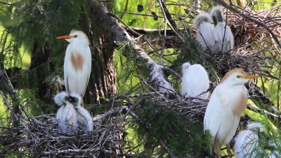 White Egret Familys Nesting In A Cypress Tree