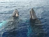 Humpback Whales Double Spy Hop