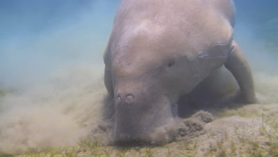 Dugong Feeding In Sand At Abu Dabab In Egypt
