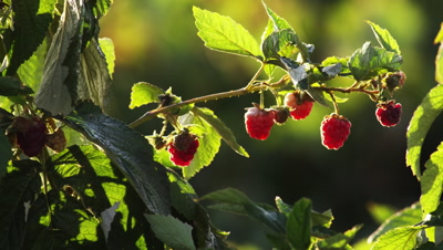 Close up of ripe raspberries on their bush