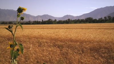 Slow panning shot of wheat field with mountains.