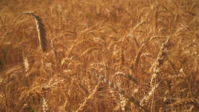 Shot of golden wheat field.