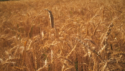 Gradual zoom shot of wheat field.