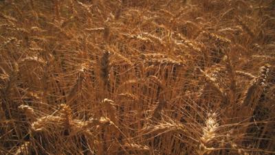 Tilting shot of golden wheat field and mountain.