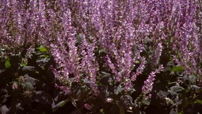 Panning shot of violet lupine field.