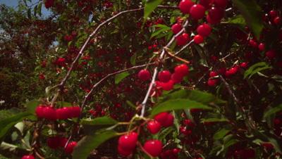 Static shot of cherries in trees