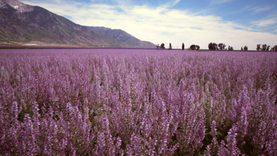 Panning shot of lavender field and mountains
