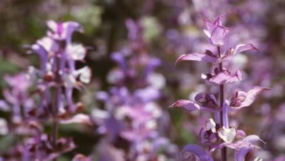 Rack focus of lavender blossoms