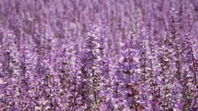 Close-up panning shot of lavender flowers