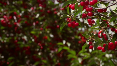 Racking focus of cherries in cherry trees
