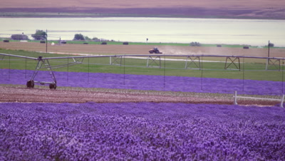 Wide shot of lavender field and irrigation system