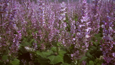 Tilting shot of lavenders in a field