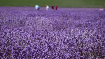 Panoramic shot of a lavender field and some people