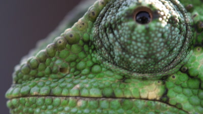 Reptile Royalty Free Stock Footage