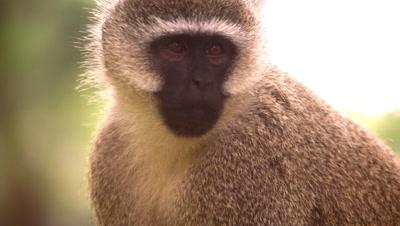 Close up on a vervet monkey's face