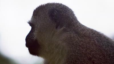 Close up on a vervet monkey's profile