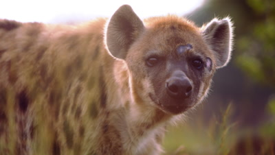 Close up of hyena's face