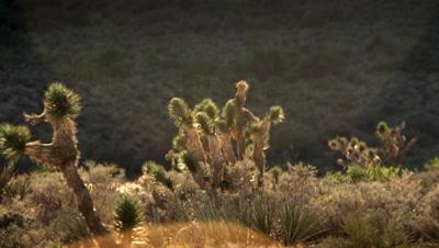 Landscape of joshua trees poking above desert brush during the day